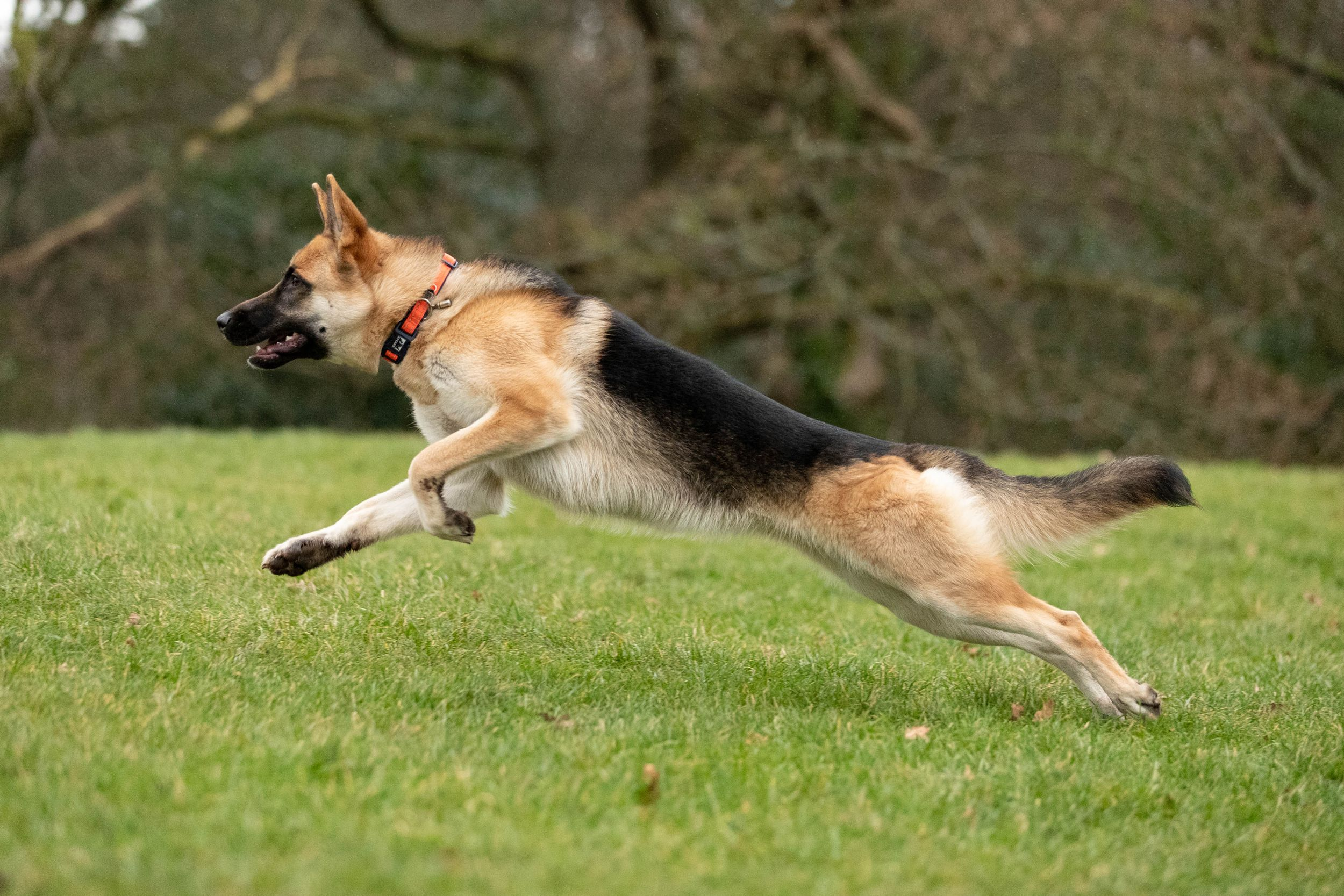 side picture of German shepherd dog running