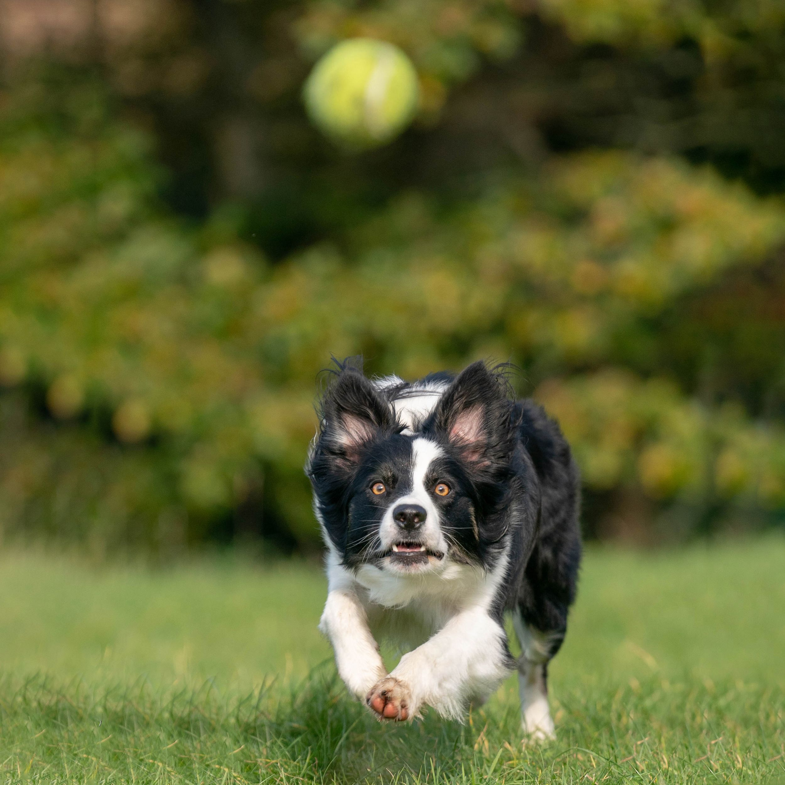 collie dog running towards camera chasing ball