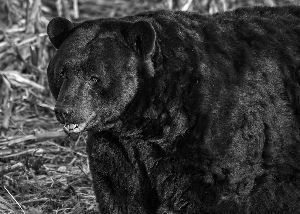 Large NC Black Bear in B&W