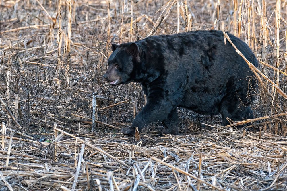 NC Black Bear Leaving a Corn Field