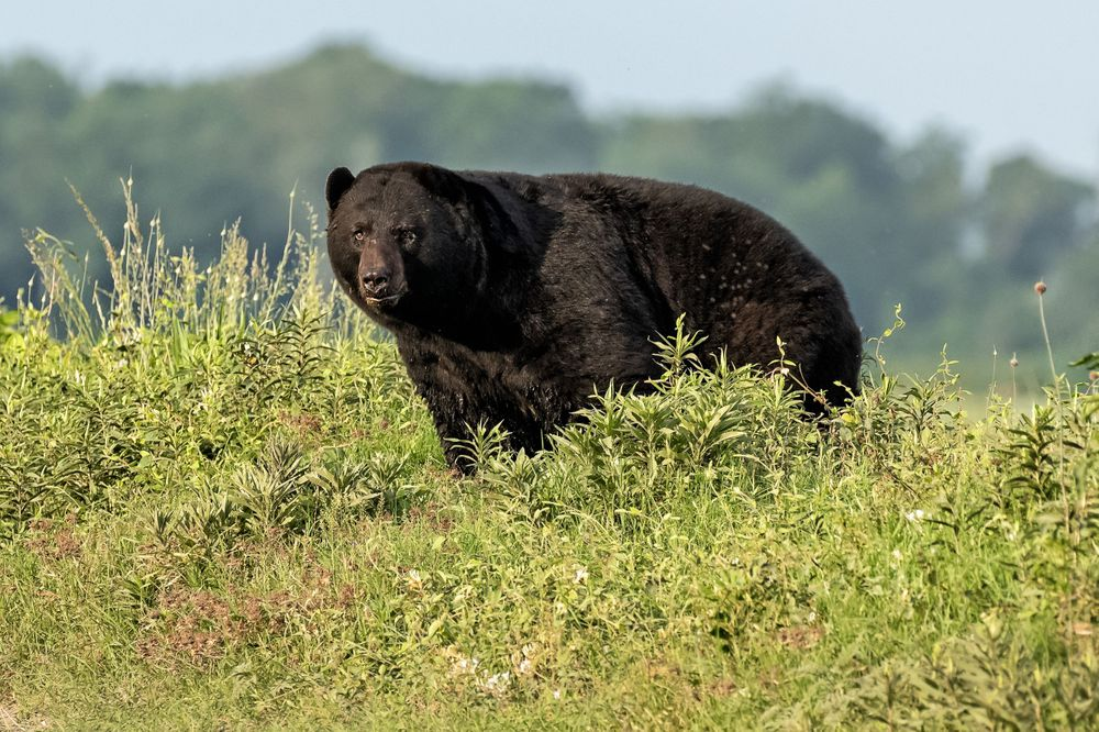 Large NC Black Bear on a ridge
