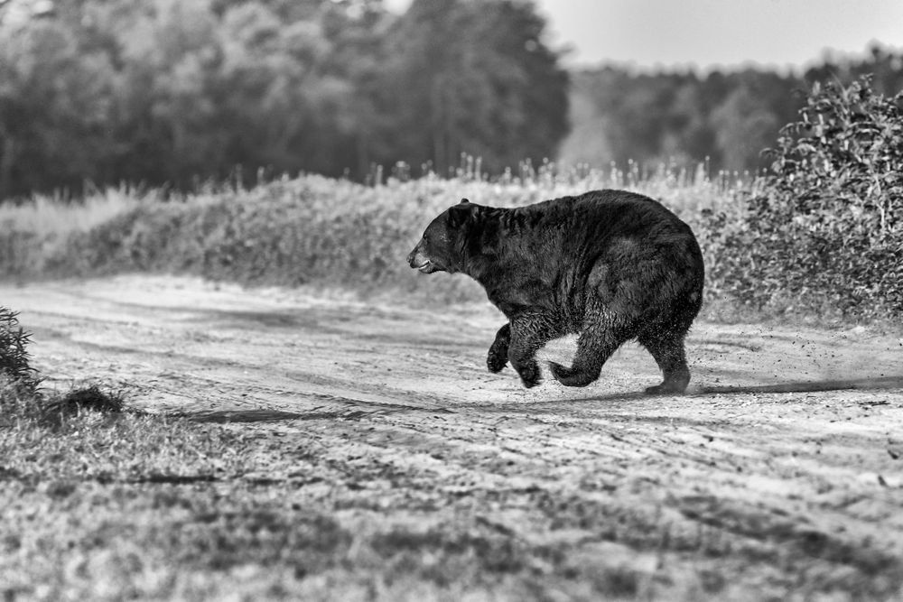 Black and white of large Black Bear running on dirt road