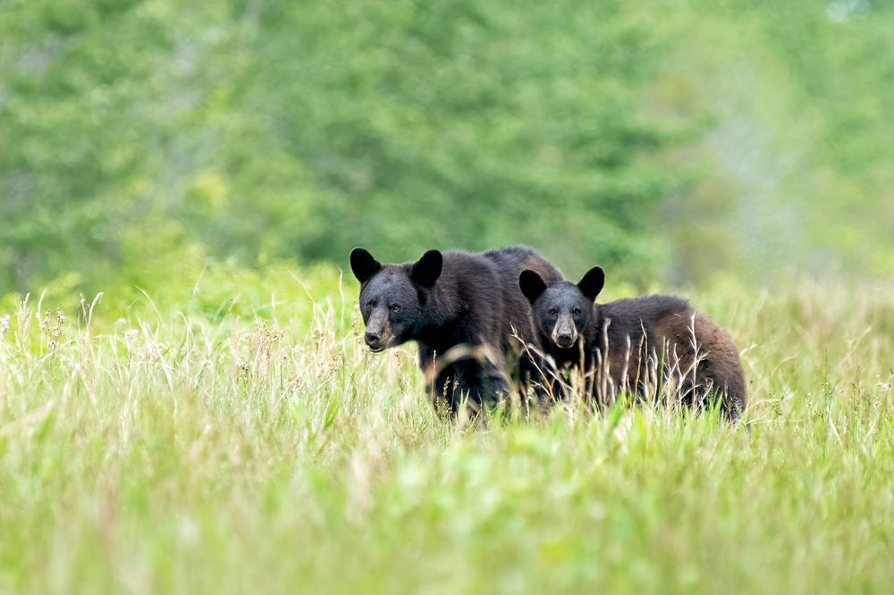 NC Black Bear Mom and Cub