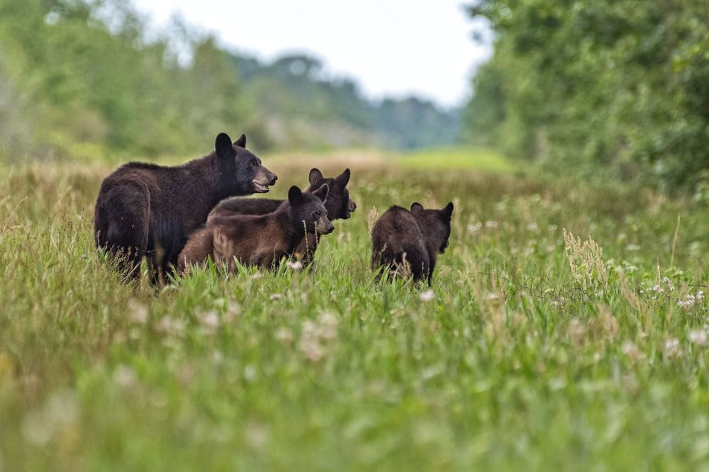 NC Black Bear mom with three cubs