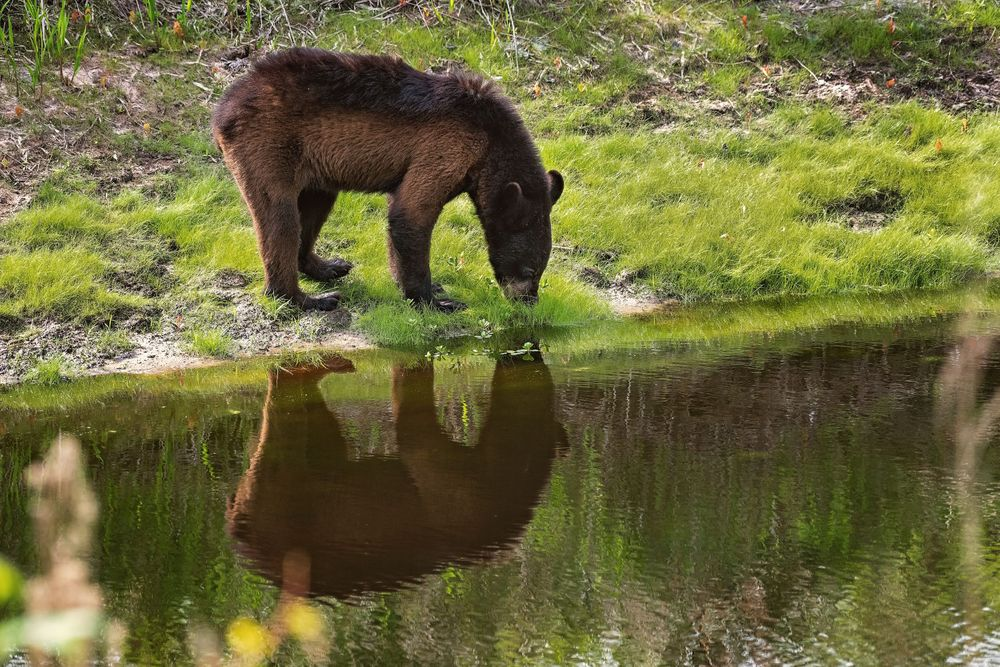 Young female Black Bear with reflection in water