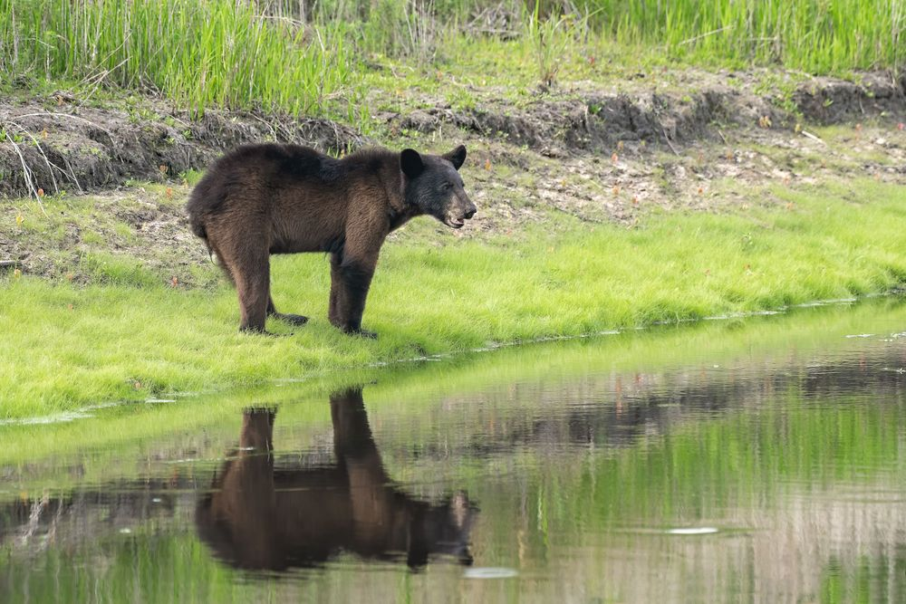 NC Black Bear Reflection from a Canal Bank