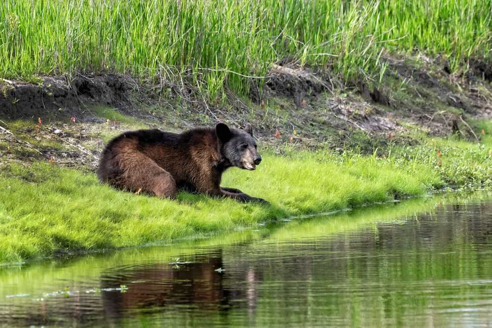 NC Black Bear Laying by a Canal