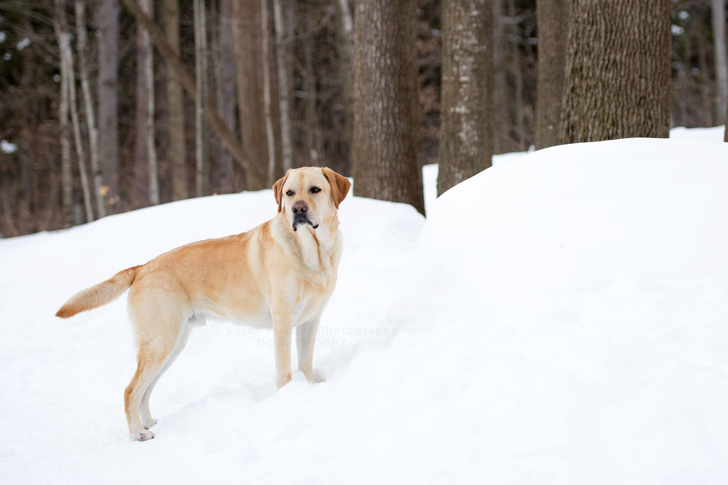 Yellow Labrador retriever dog standing in snowy forest
