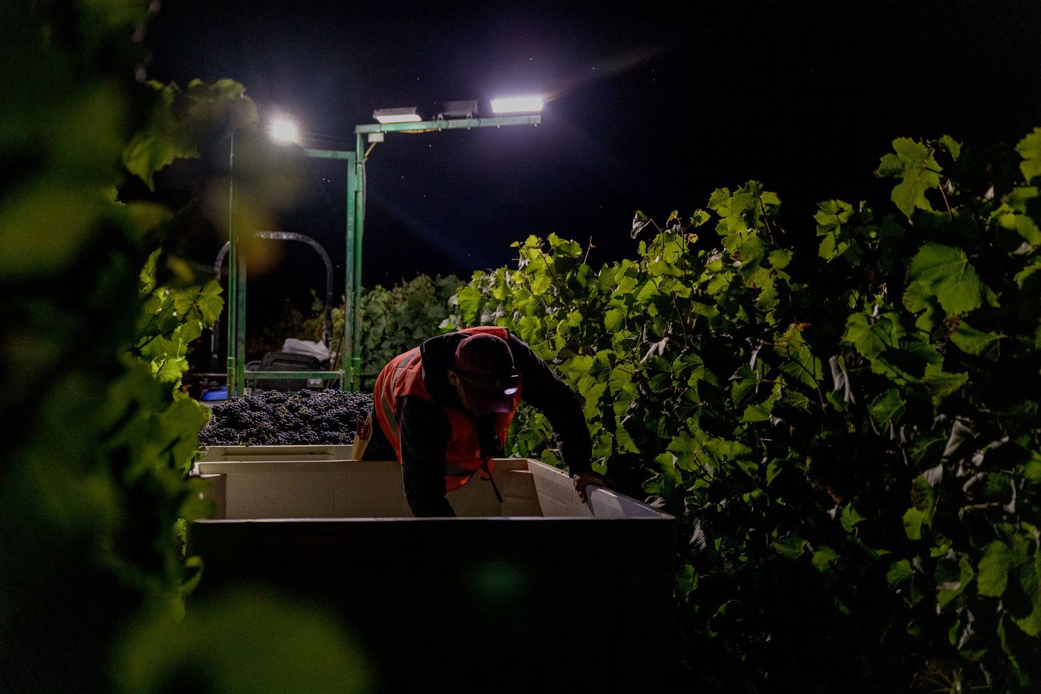 Vineyard worker sorting wine grapes at peake Ranch Vineyard in Santa Barbara Wine Country