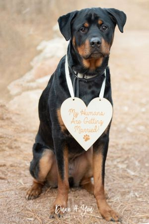 Rottweiler wearing a My Humans are getting married sign