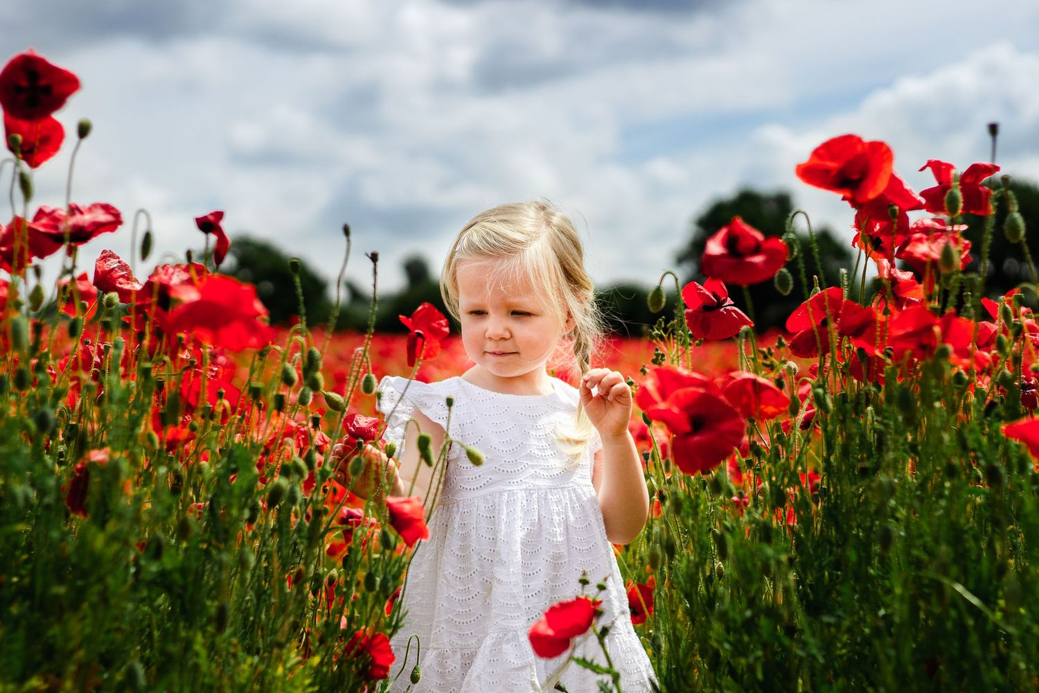 On a sunny day in a poppy field a 2 year old in a white dress inspects the flowers.