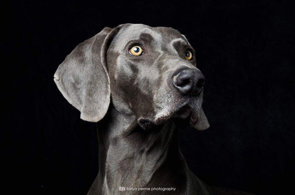 weimaraner in studio with black backdrop