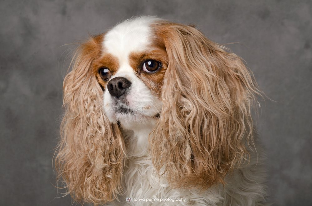 Cavalier King Charles Spaniel with grey backdrop
