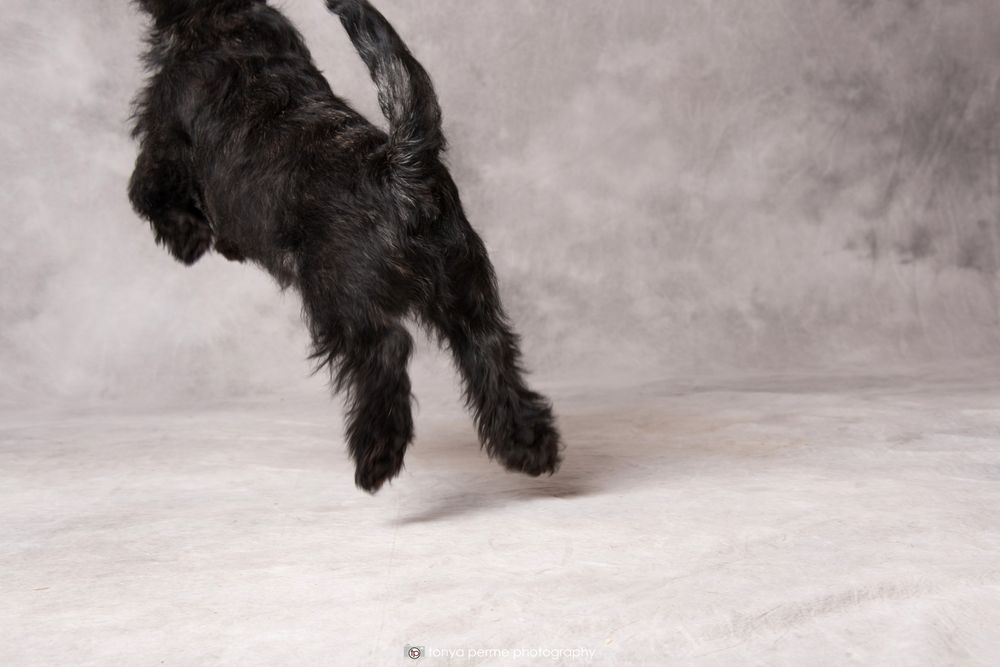black terrier jumping