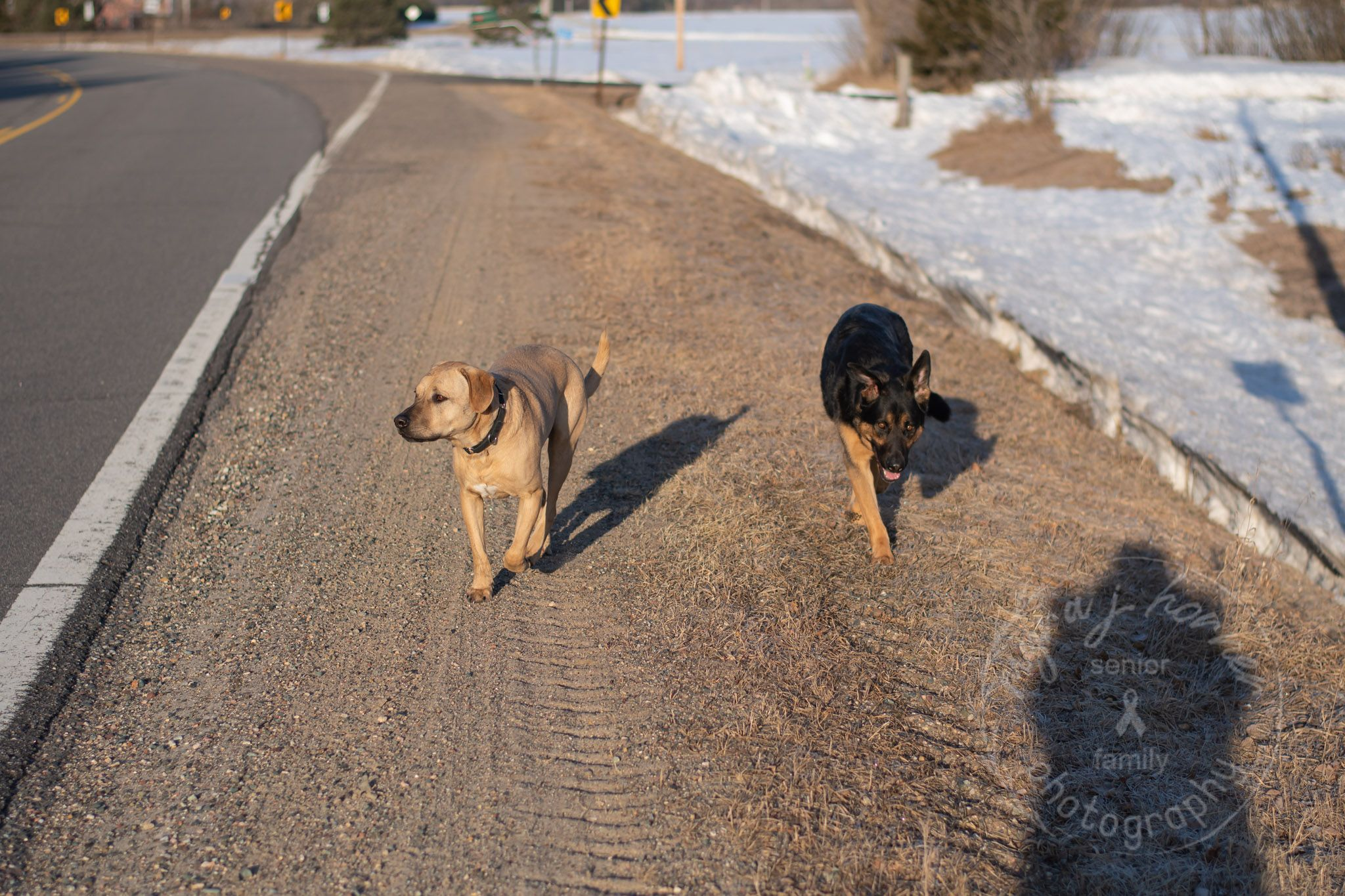 fawn colored Labrador type dog walking down shoulder of road with a black and fawn colored German Shepherd