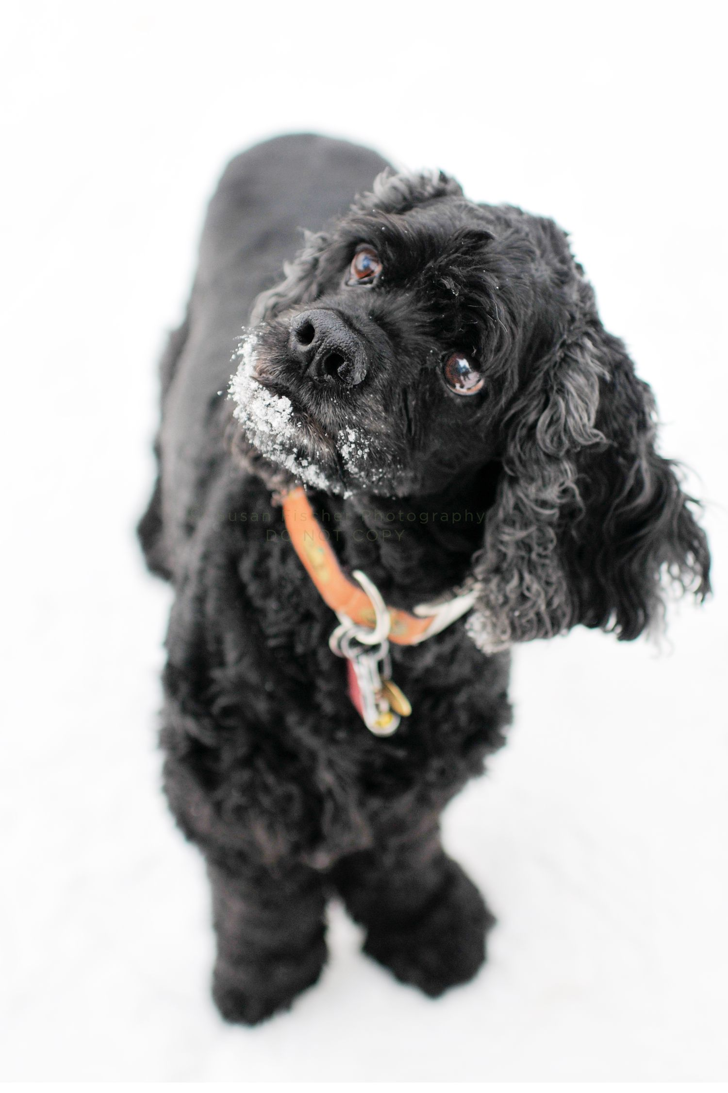 dog, dog in snow, black dog, cocker spaniel