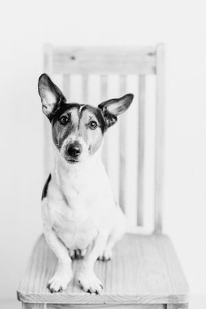 jack russell black and white portrait