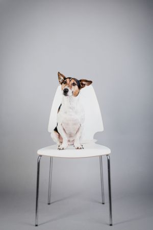 jack russell sat on a chair