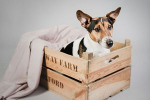 Jack russell terrier in a basket portrait