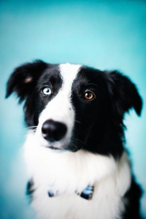 Border collie with blue eyes