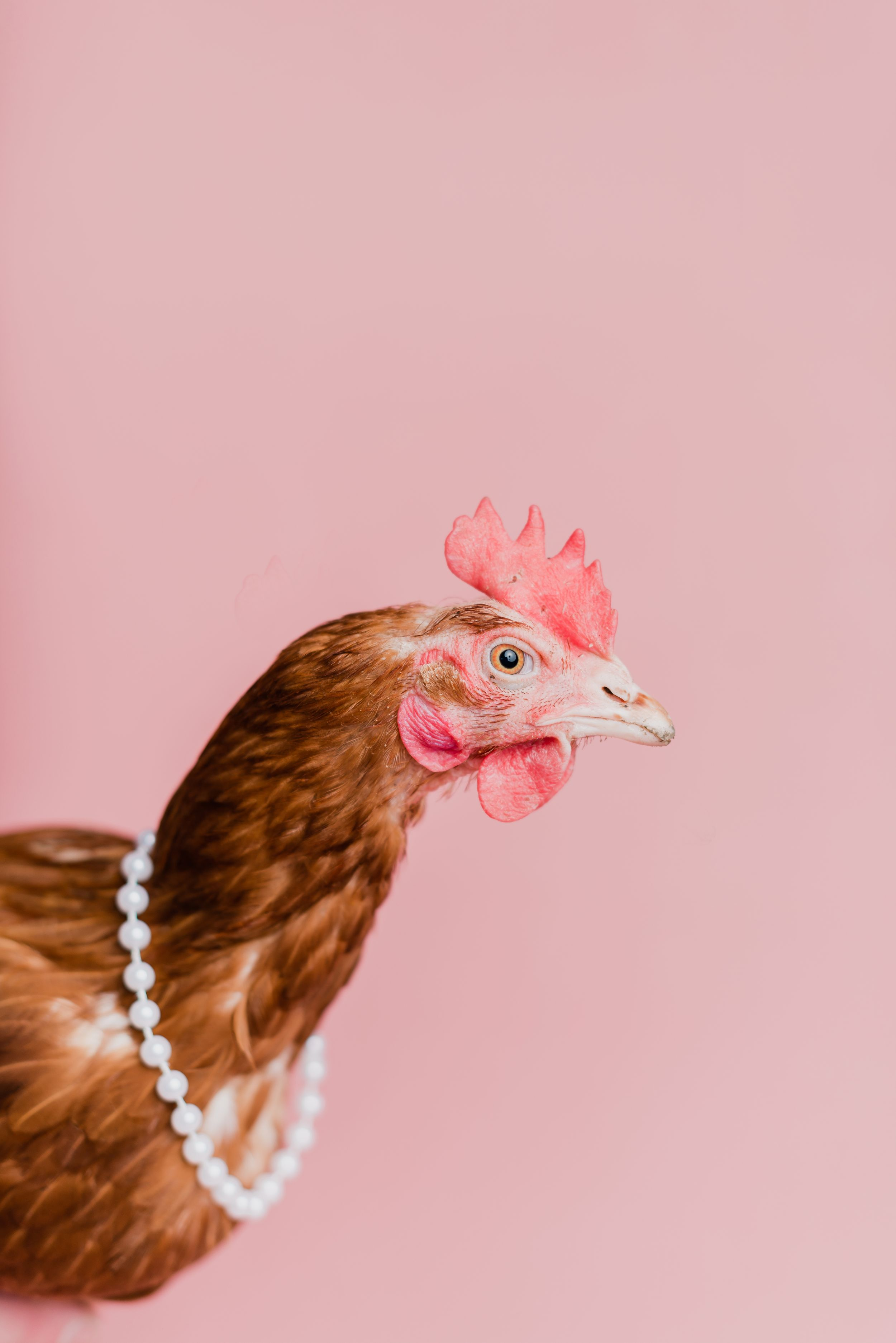 Chicken wearing a necklace