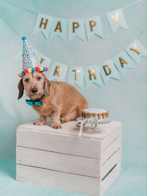Wire haired sausage dog birthday party