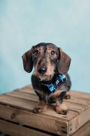 Wire haired sausage dog portrait