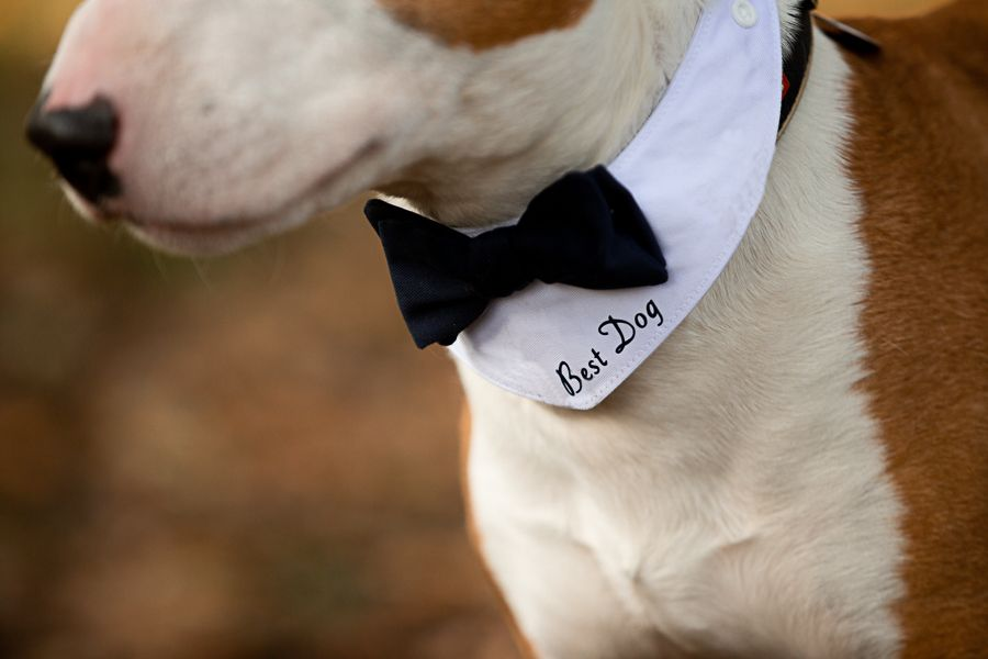 Close up of an English Bull Terrier wearing a 'Best Dog' bandana and bow tie. Top 10 dog-friendly wedding tips.