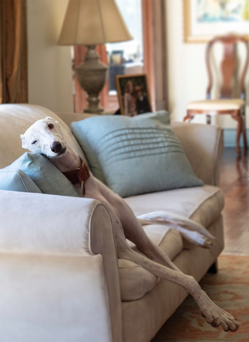 White Dog with One Eye Open Sitting on Grey Sofa in Living Room by Photographer Leslie Argote