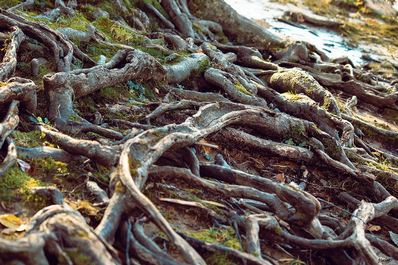 tree roots by rappahannock river